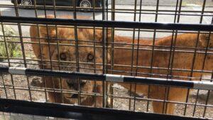 富士サファリパーク ライオン 餌やり 1歳 2歳 3歳